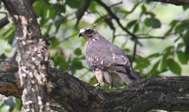 谷に降りていたサシバの若鳥