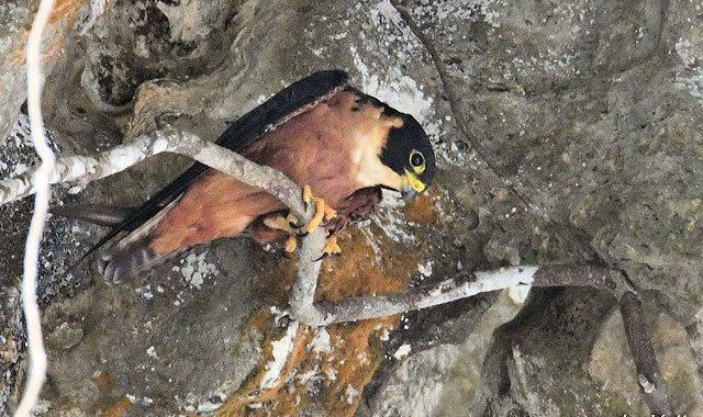 ミャンマー探検記(2)~村の鳥たち・ミナミチゴハヤブサ
