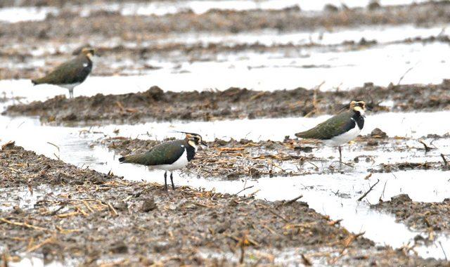 雨の涸沼にて(2)~タゲリ、コチョウゲンボウ