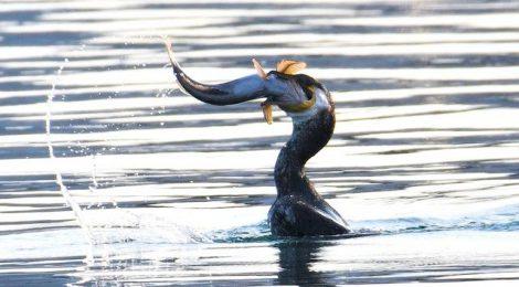 海のグルメな鳥たち~ウミウ、セグロカモメ、ヒメウ