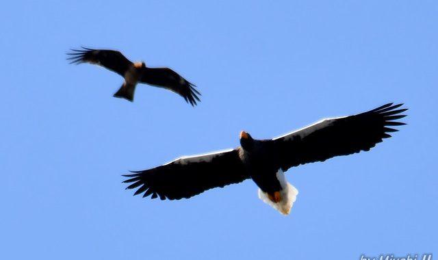 オオワシ早春の空を飛ぶ