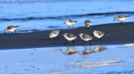 浜辺のミユビシギ、ハマシギ
