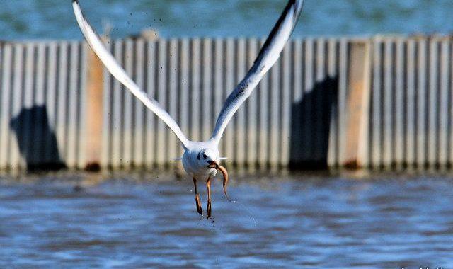 早春稲敷めぐり(2)~ユリカモメの餌とり、エリマキシギ