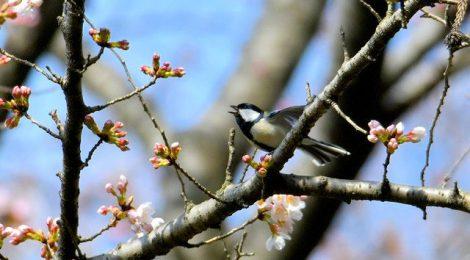 公園で花見鳥見~カワラヒワ、ジョウビタキなど