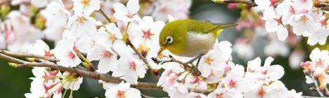 花咲くフィールドの散策~メジロ、ヤマガラ、オオタカ