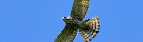 緑の山にサシバが飛ぶ