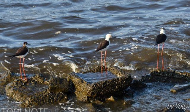 涸沼でセイタカシギ3羽
