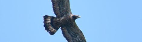 ハチクマの飛翔(1)