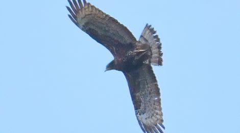 ハチクマの飛翔(2)