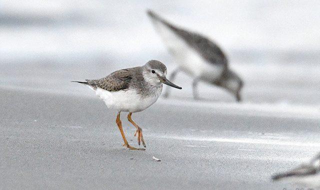 浜辺のソリハシシギたち