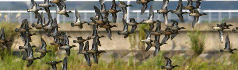 涸沼、コガモの群れの飛来