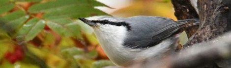 苫小牧周辺の鳥たち(1)~シロハラゴジュウカラ、エゾアカゲラ