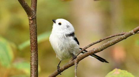 苫小牧周辺の鳥たち(5)~初めてのシマエナガ