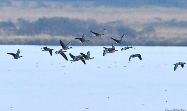苫小牧周辺の鳥たち(6)~ガン類の塒入り
