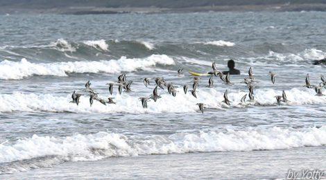 海辺にて~ミユビシギ、ヒドリガモの群れ