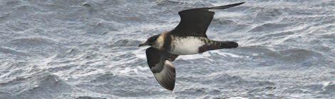 10月の大洗-苫小牧-八戸航路の旅(4)トウゾクカモメ、ハシボソミズナギドリ