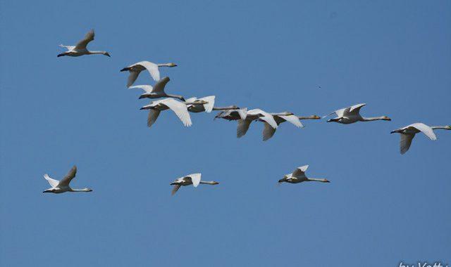 涸沼~オオハクチョウ、コハクチョウの飛ぶ空
