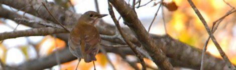 早い日暮れと林の小鳥~エナガ、ミソサザイ、シロハラ