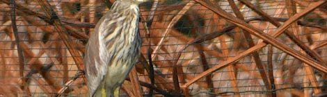 蓮田のアカガシラサギ冬羽