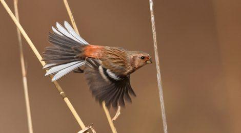 県北で小鳥さがし(1)~ベニマシコ、オオマシコ