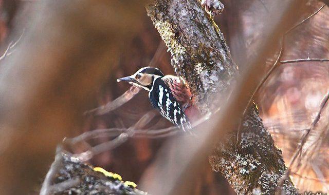 県北で小鳥さがし(2)~オオアカゲラ、ヒレンジャク、ミヤマホオジロ