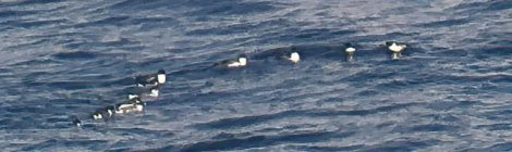 大洗の海~ウミスズメ、アビ、ウトウ