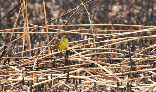 野焼きのあとの小鳥たち~アオジ、カシラダカ