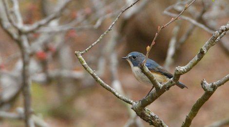 公園の小鳥たち~ルリビタキ、ジョウビタキ