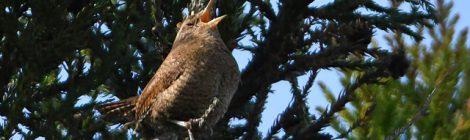 快晴の山の探鳥(1)~ミソサザイ、ヒガラ、コサメビタキ