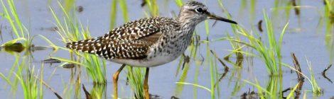 涸沼では珍しい春タカブシギ3羽