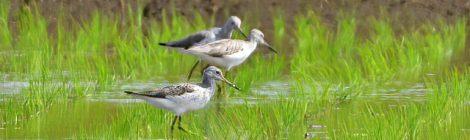 涸沼のアオアシシギ4羽