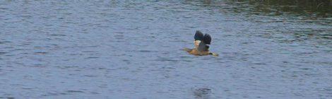 涸沼の湖面を飛ぶヨシゴイ