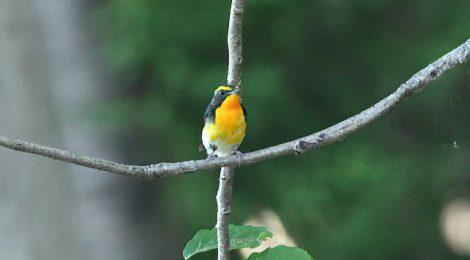 キビタキとヤマガラ幼鳥