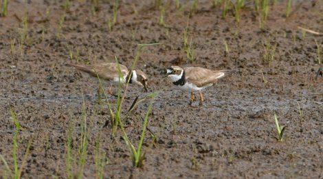 コチドリ10数羽、畦のイソシギ