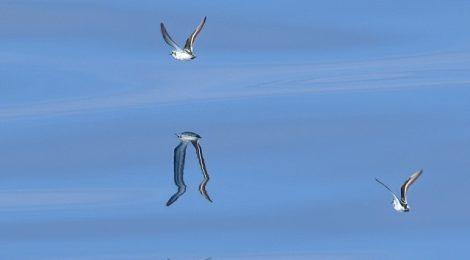 2021年7月の大洗-苫小牧航路(1)アカエリヒレアシシギ、ウミネコ幼鳥