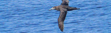 2021年7月の大洗-苫小牧航路(2)クロアシアホウドリ、コシジロウミツバメ
