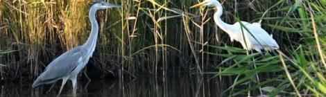 夕暮れの涸沼散策~サギたち、カイツブリなど