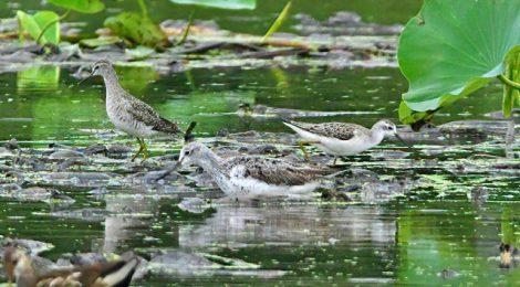 雨の稲敷(1)~タカブシギ、コアオアシシギ、アオアシシギ