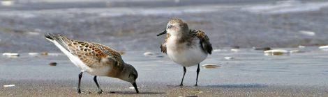 海岸のトウネン幼鳥、ミユビシギたち