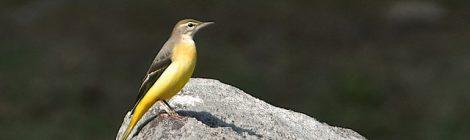 夏鳥と冬鳥のいる公園~キセキレイ、アトリ、キビタキ