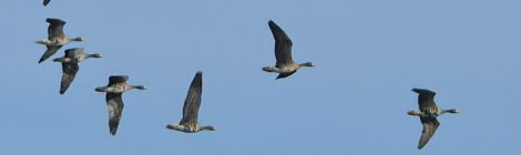 寒波とともにマガン7羽の飛来